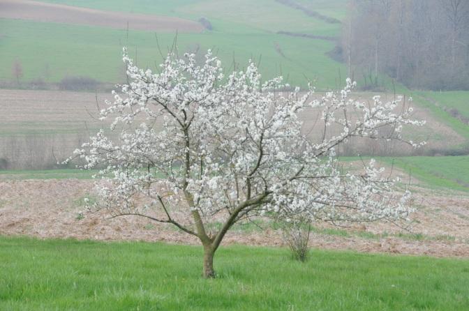 De Pruimenboom